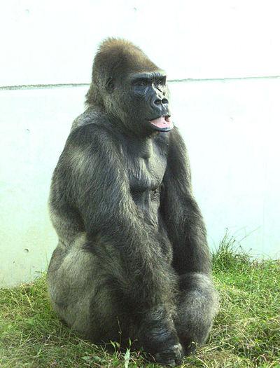 Gorilla20071005