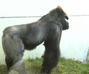 Gorilla200710051
