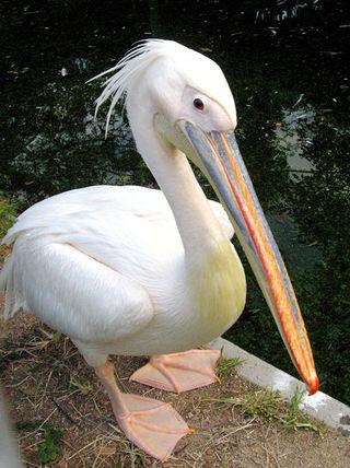 Pelican200710161_2