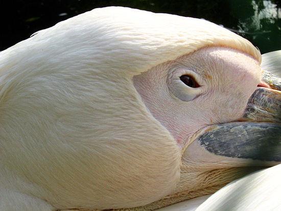 Pelican200710162