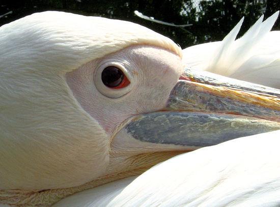 Pelican200710163
