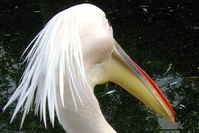 Pelican20071016_2