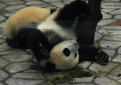 Panda20071030
