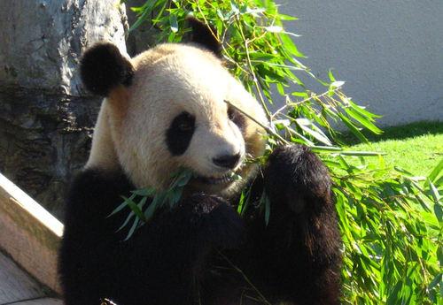 Panda20071029