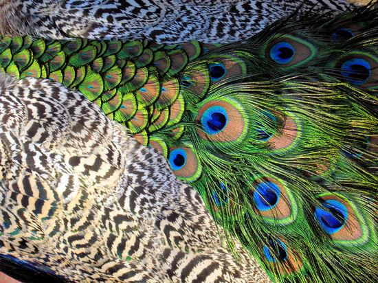 Peacock20071029