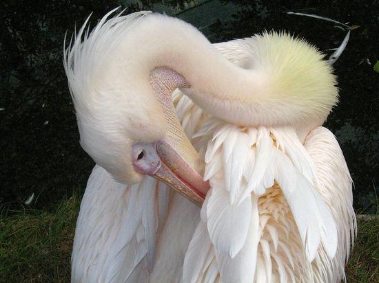 Pelican200710165