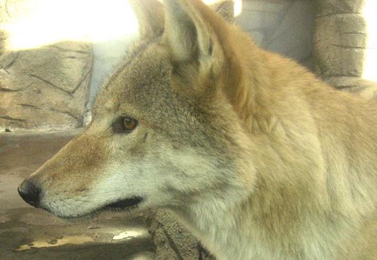 Wolf20071016