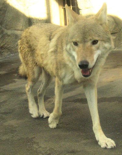 Wolf200710161