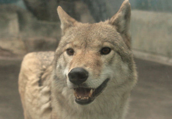 Wolf20071129