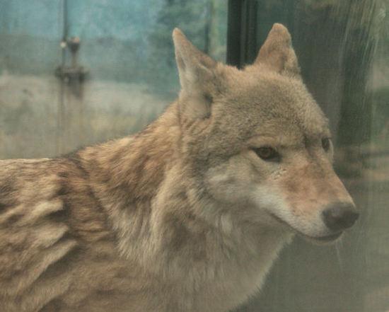 Wolf200711291