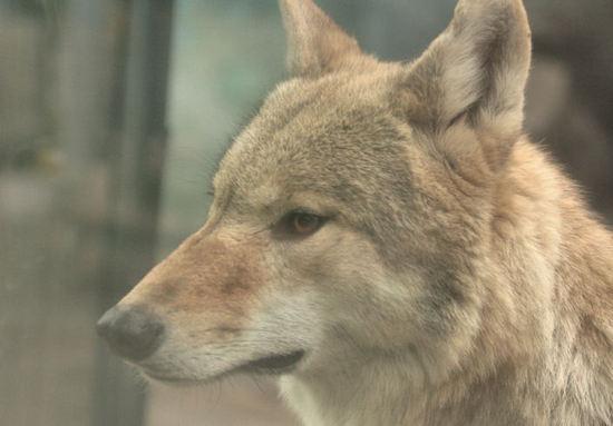 Wolf200711292_2