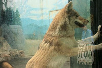 Wolf200711293