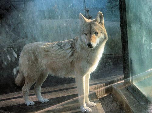 Wolf20071220_2