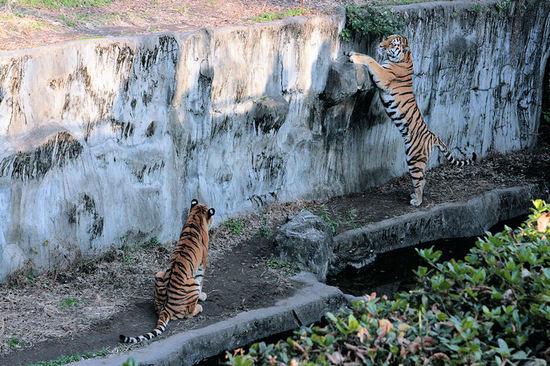 Tiger20080109
