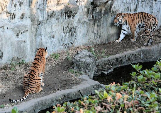 Tiger200801091