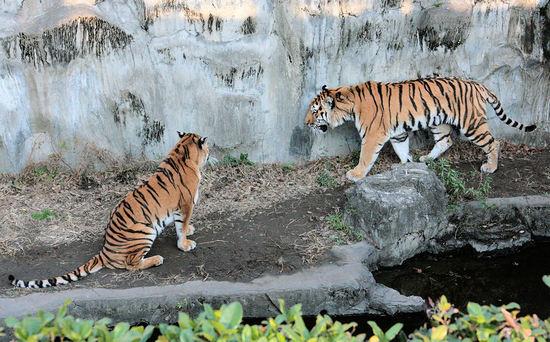 Tiger200801092