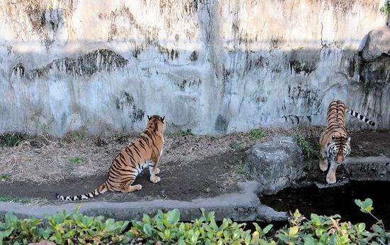 Tiger200801093