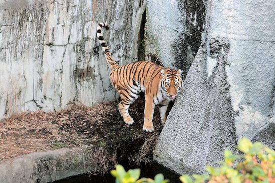 Tiger200801094