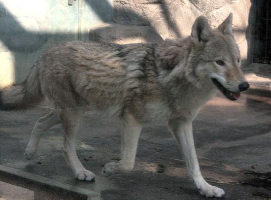 Wolf20080109