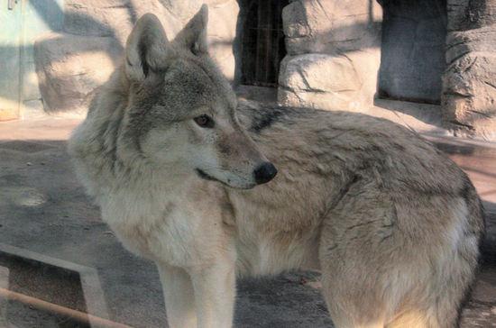 Wolf200801091