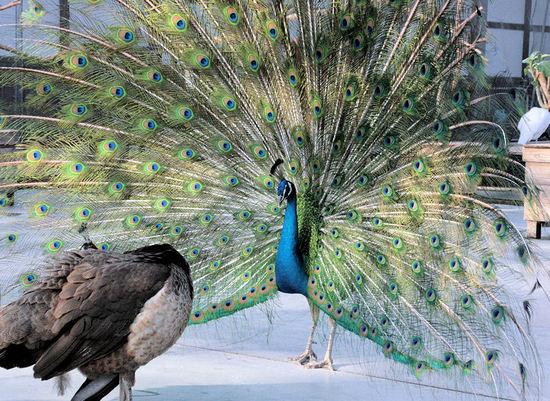 Peacock200801151