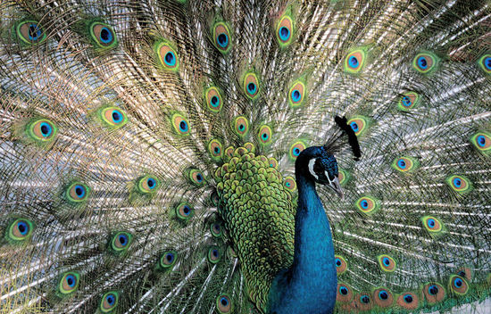Peacock20080115_2
