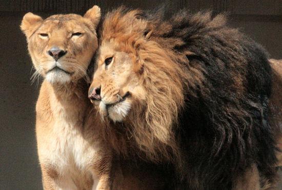 Lion20080218