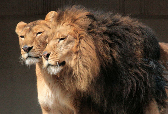 Lion200802181