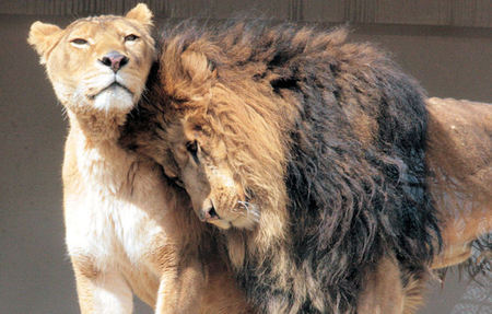 Lion200802183_2