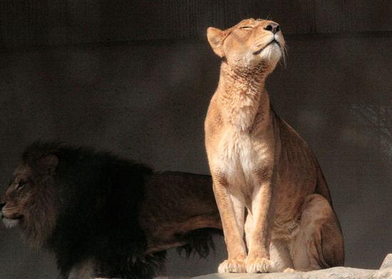 Lion200802182