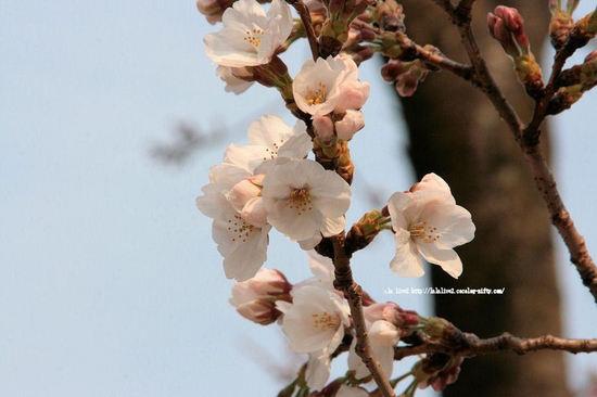 Cherry200803272