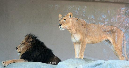 Lion20080327