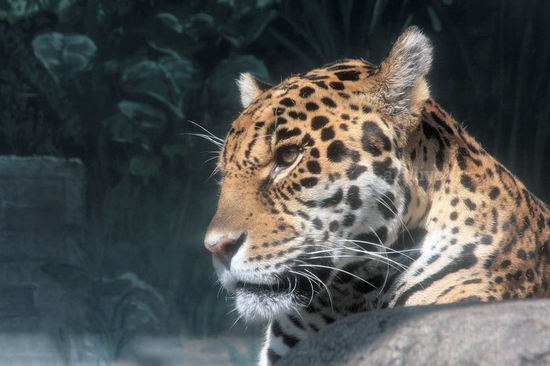 Jaguar20080415