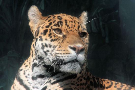 Jaguar200804152