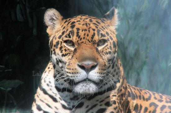 Jaguar200804153