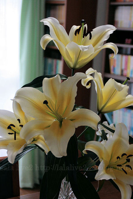 Lily20080419