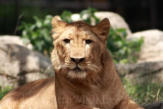 Lion20080715