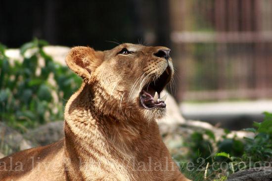 Lion200807151_2
