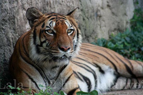 Tiger20080715_2