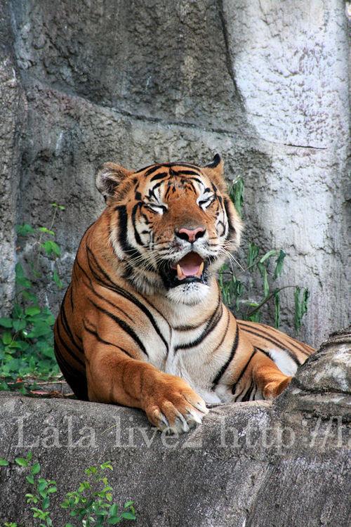 Tiger20080716