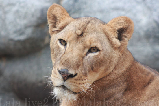 Lion20080818
