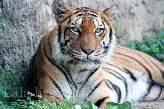 Tiger2008071521