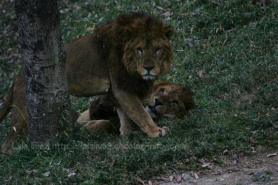 Lion20090105