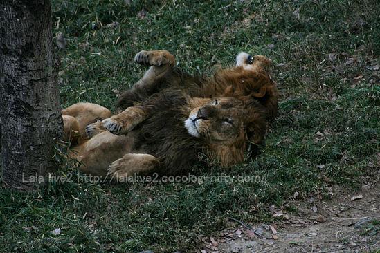 Lion200901051