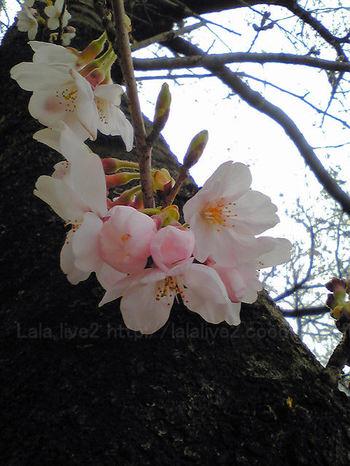 Sakura200903231