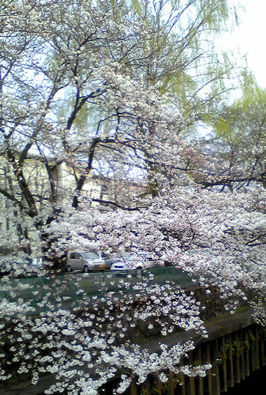 Sakura20090328_3