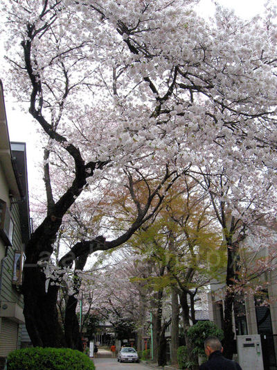 Sakura20090404