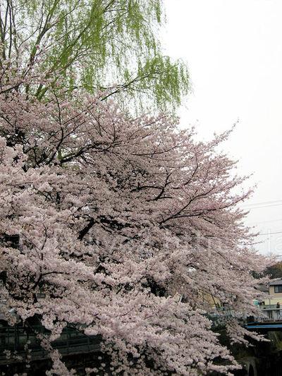 Sakura200904042