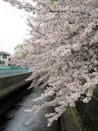 Sakura200904043