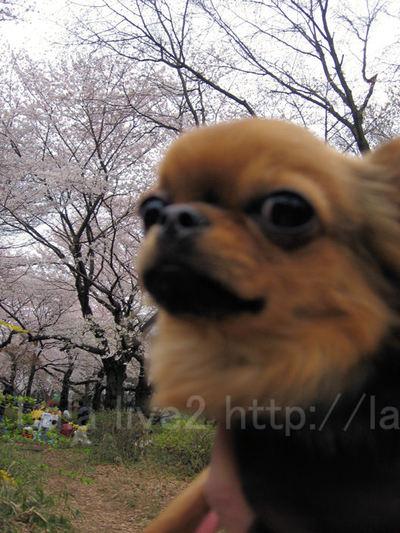 Sakura200904044